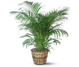 Комнатное растение Хризолидокарпус