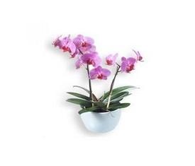 Орхидея Фаленопсис розовый