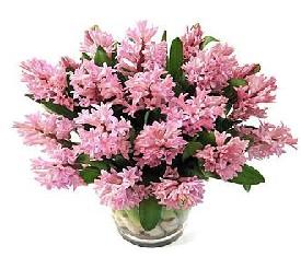 Букет из 25 розовых гиацинтов