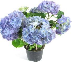Комнатное растение гидрангия синяя