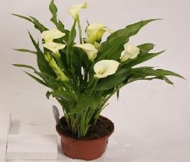 Комнатное растение калла белая