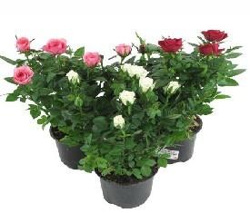 Комнатное растение роза мини микс