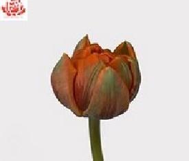 Тюльпан Оранж принцес