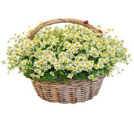 Ромашки - заказать цветы купить Ромашки доставка букетов Москва