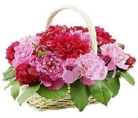 корзина из 19 малиновых цветов пионов