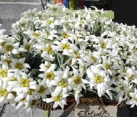 корзина из 29 цветов эдельвейсов