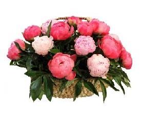 корзина из 19 коралловых и розовых пионов с зеленью