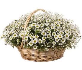 корзина из 55 цветов ромашки купить Москва