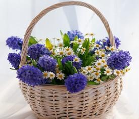 синие гиацинты и полевые ромашки в корзине