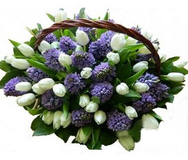 50 белых тюльпанов и 25 синих гиацинтов в корзине