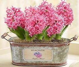 розовые гиацинты в кашпо
