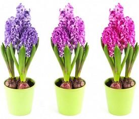 3 цветка гиацинта в кашпо на 8 марта