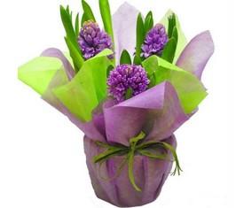 розовые гиацинты в подарочной упаковке