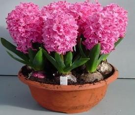 5 розовых гиацинтов в горшке на 8 марта