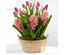 розовые тюльпаны и розовые гиацинты в кашпо