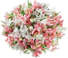 букет из 55 белых и розовых альстромерий