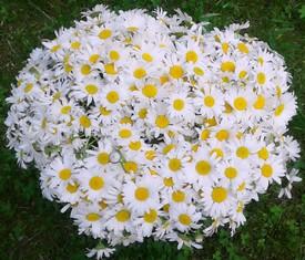 букет из 101 цветка кустовой садовой ромашки
