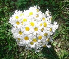букет из 25 цветов кустовых садовых ромашек