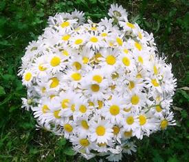 букет из 51 цветка кустовой садовой ромашки