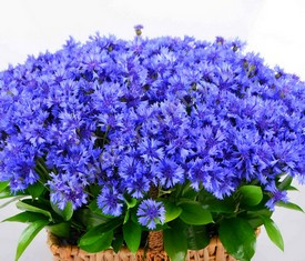 корзина из 201 цветка василька купить