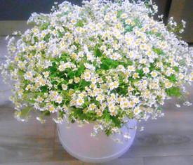 51 цветок ромашки в коробке