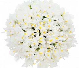 букет из 151 цветка белого ириса
