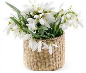 45 цветов подснежников в кашпо