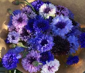 35 цветов васильков