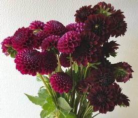 цветы бордовые георгины