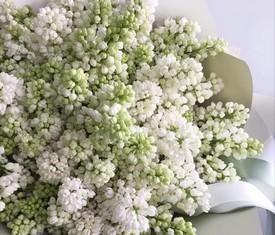 цветы белой сирени