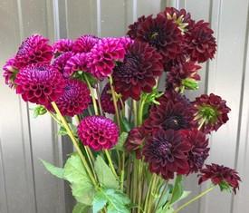 цветы малиновые и бардовые георгины