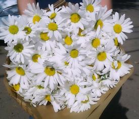 25 цветов больших, крупных, садовых ромашек
