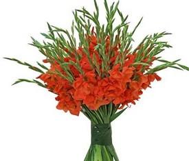 цветы оранжевые гладиолусы