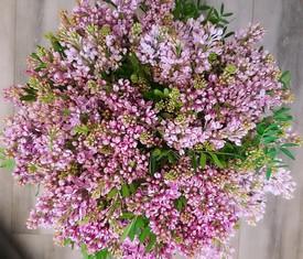 51 ветка цветов сирени