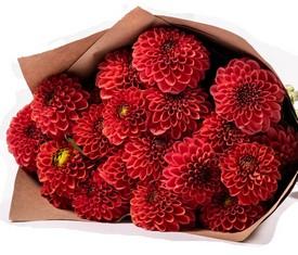 цветы красные георгины